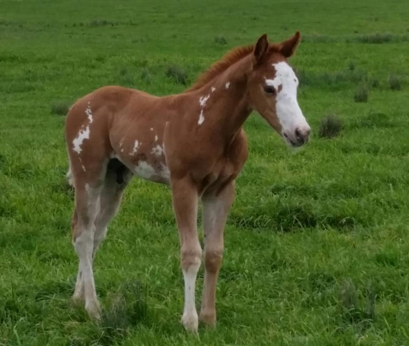 Dd Paint N Quarter Horses David Potts Foals Amp Yearlings